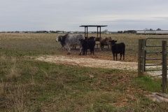 0084 - Rinder und Kühe weiden entlang der Highways