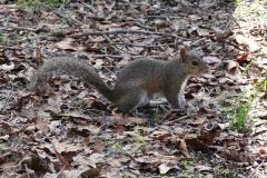 0376 - Ein sogenanntes Grauhörnchen