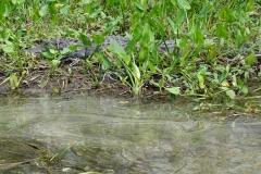 0386 - Eine Alligator-Mama mit zwei Jungen auf dem Rücken