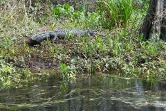0389 - Und dazwischen der nächste Alligator