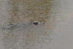 0522 - Das war wirklich ein Alligator in freier Wildbahn neben der Straße