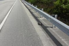 0523 - Und hier hat sich eine Schildkröte auf die Straße verirrt - sehr gefährlich für das Tier