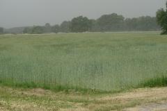 Es sah aus, wie wenn Rauch über dem Feld schwebt, dabei war es nur Blütenstaub. Ich kenne mindestens eine Leserin, der jetzt die Augen tränen :-)