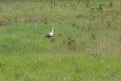Ein Storch bei der ARbeit. Während der Fahrt gar nicht so einfach zu fotografieren
