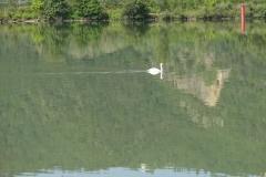 276 - Ein Schwan pflügt mitten auf dem Fluss seine Bahn