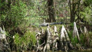 Alligatoren im Wakulla Springs State Park